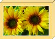 Box - Sonnenblumen